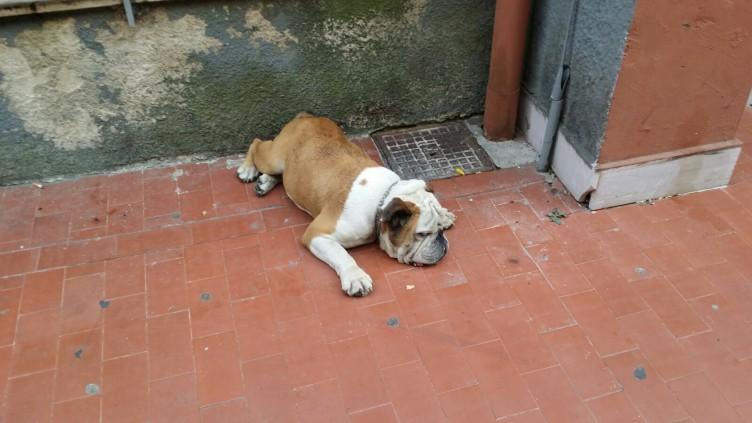 Bulldog maltrattato e abbandonato, é caccia all'uomo - aSalerno.it