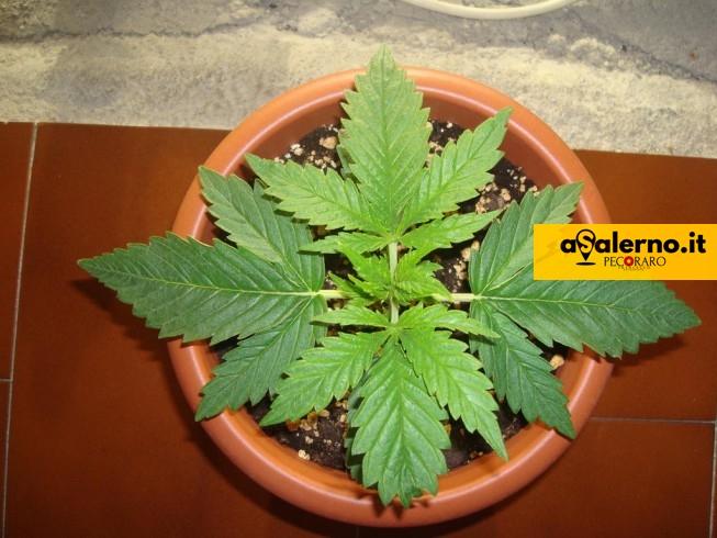Bivio Pratole, padre e figlio coltivano cannabis sul balcone - aSalerno.it