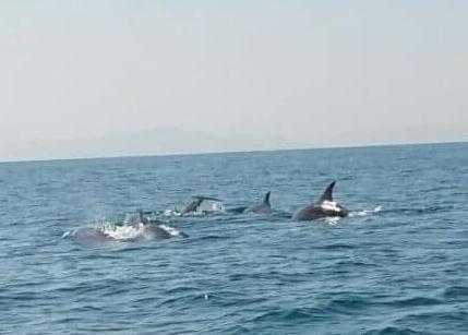 Eboli, avvistato un branco di delfini al largo delle acque di Campolongo - aSalerno.it