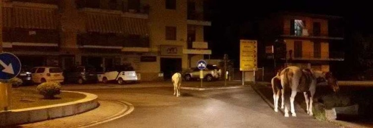 Agropoli: cavalli per strada nella notte, caos tra gli automobilisti - aSalerno.it