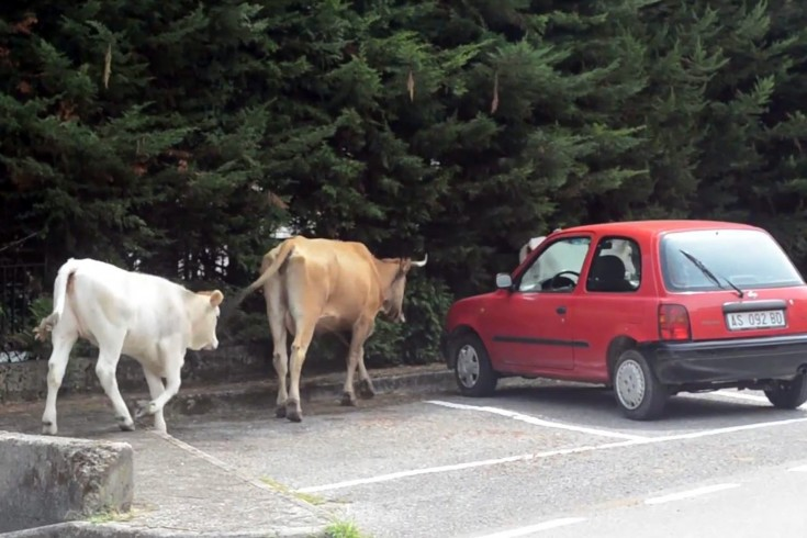 Mucche libere in strada a Cava: 500 euro di multa alla proprietaria rintracciata a Salerno - aSalerno.it