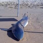 squalo 2