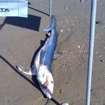 squalo 6