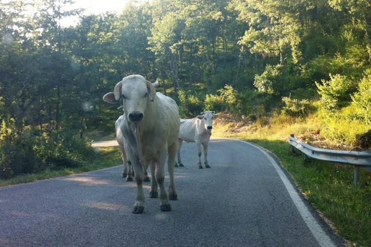 Donna aggredita da un toro a Pellezzano, paura tra i residenti - aSalerno.it