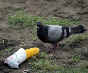 Sal : piccioni