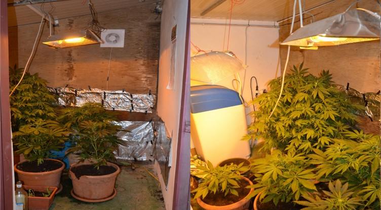 FOTO – Ecco le piante di marijuana sequestrate a Pontecagnano - aSalerno.it