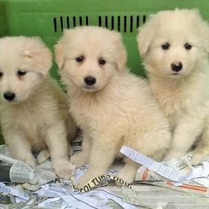 cuccioli cani