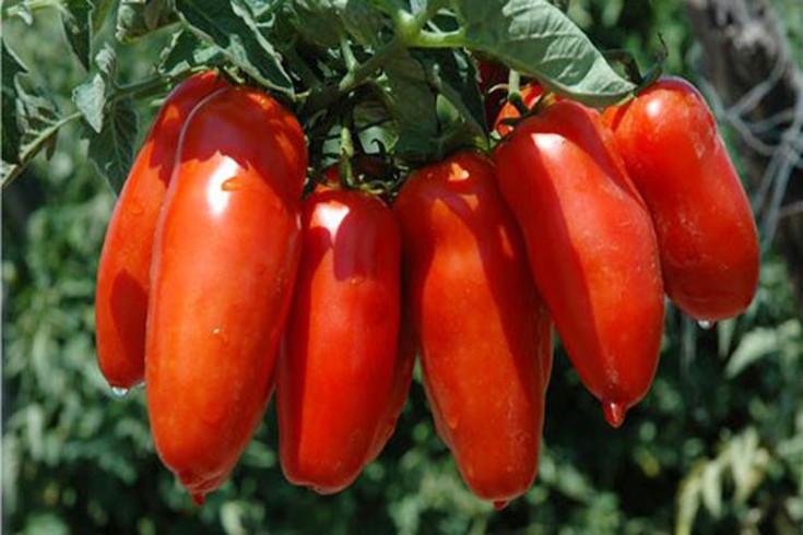 L'Europa dice che il pomodoro San Marzano non è un'esclusiva campana - aSalerno.it
