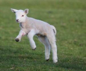 un-agnello-salta-sullerba