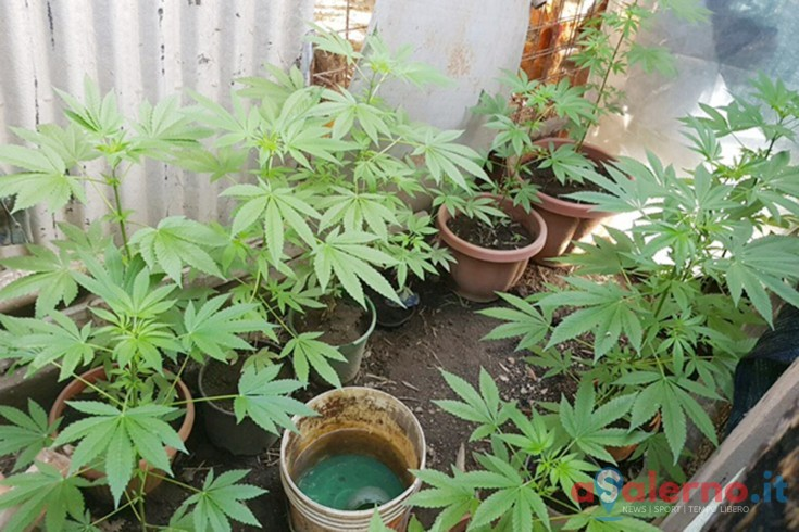Baronissi, coltivava Marijuana in casa: arrestato commerciante - aSalerno.it