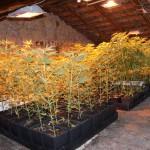 marijuana piante