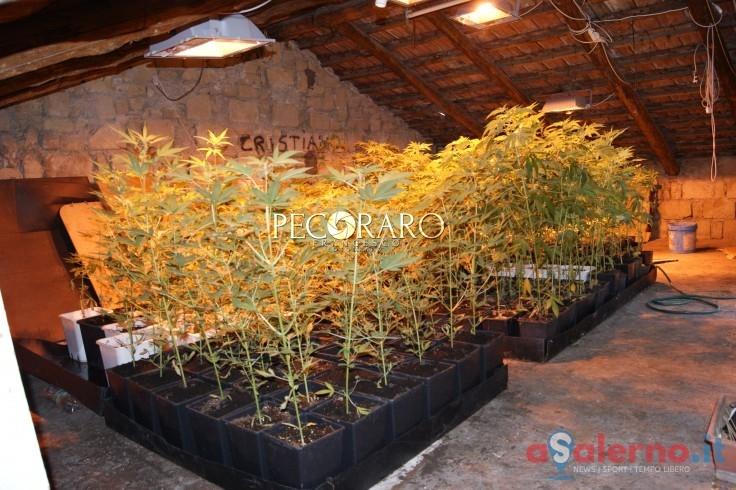 Coltivava cannabis nel vialetto, scoperto dagli agenti di Polizia - aSalerno.it