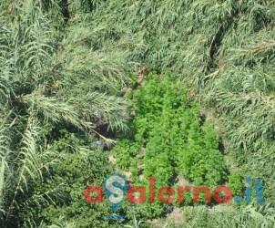 Foto Sequesto piantagione di cannabis nel comune di Battipaglia