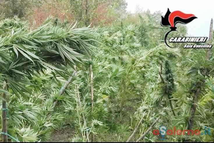 Scoperta a Roscigno una piantagione di cannabis da un milione di euro - aSalerno.it