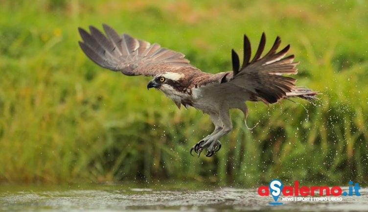 Nel Salernitano uno dei futuri siti di riproduzione per il Falco Pescatore? - aSalerno.it
