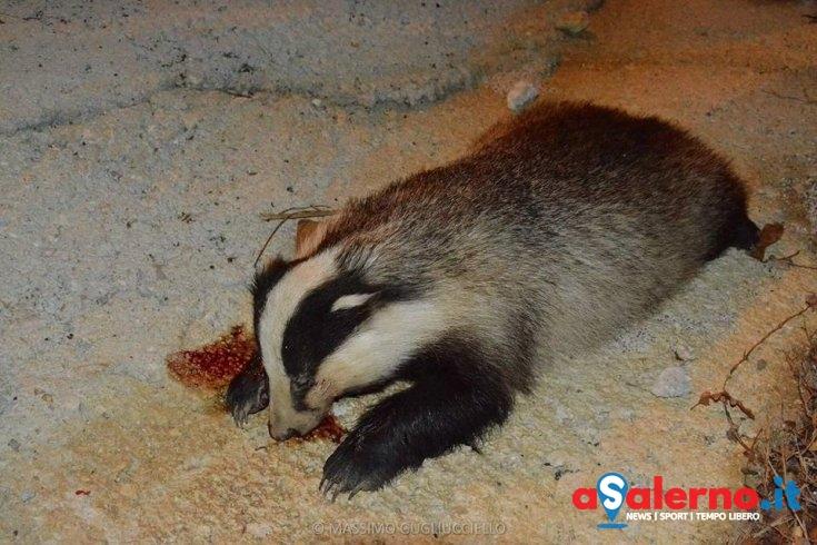 Tasso ferito ad Oliveto Citra, recuperato dalle guardie dell'Enpa – LE FOTO - aSalerno.it