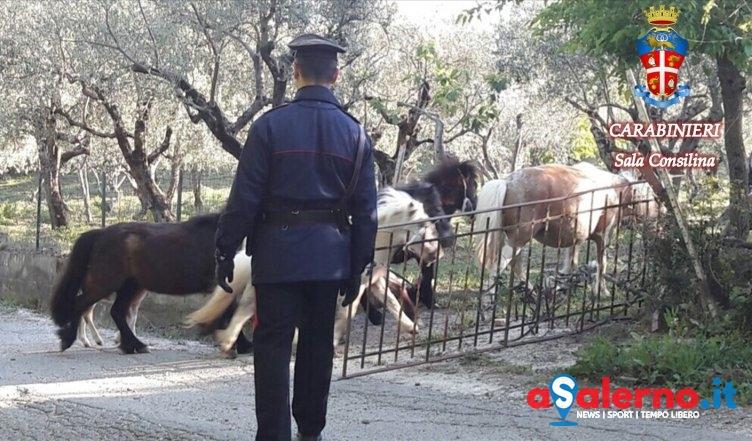 """Ruba cavalli """"pony"""" ad Ottati, denunciato 70enne nel Salernitano - aSalerno.it"""
