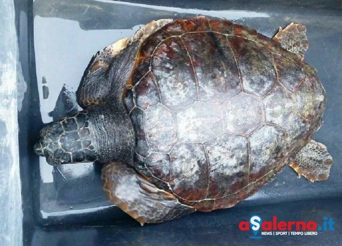 Cilento, tartaruga trovata morta sulla spiaggia di San Nicola a Mare - aSalerno.it