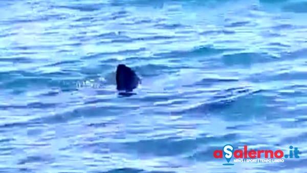 Policastro: avvistato squalo volpe a pochi metri dalla riva - aSalerno.it