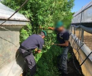 16005_Foto sequestro marijuana