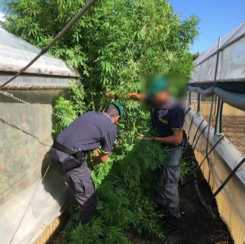 Piante di canapa alte 4 metri in casa, arrestato 70enne nel Salernitano - aSalerno.it