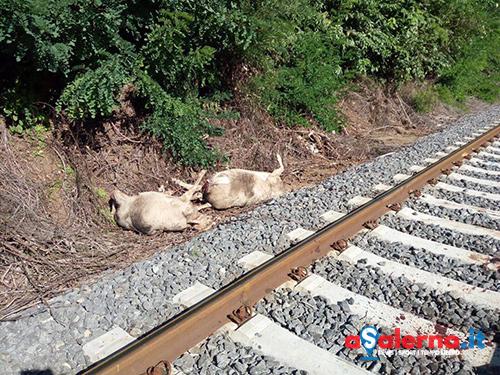 Carcasse di animali lungo i binari del treno, il sindaco di Baronissi annuncia la bonifica - aSalerno.it