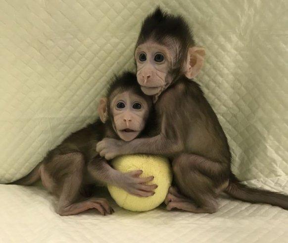 Rivoluzione nella Scienza: clonate le prime due scimmie in Cina - aSalerno.it
