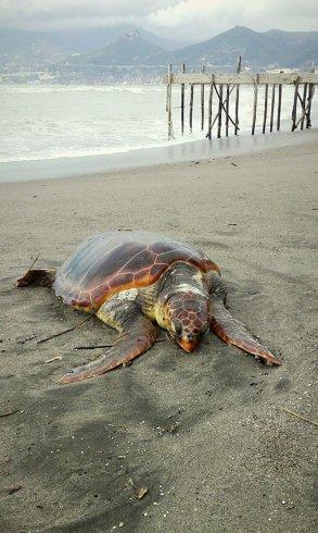 Tartaruga senza vita spiaggiata al Porticciolo di Pastena – FOTO - aSalerno.it