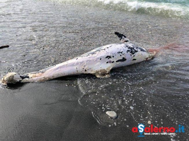 Delfino senza vita arenato sulla spiaggia di Torrione - aSalerno.it