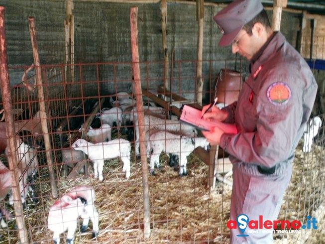 Scoperta macellazione clandestina in provincia di Salerno – FOTO - aSalerno.it