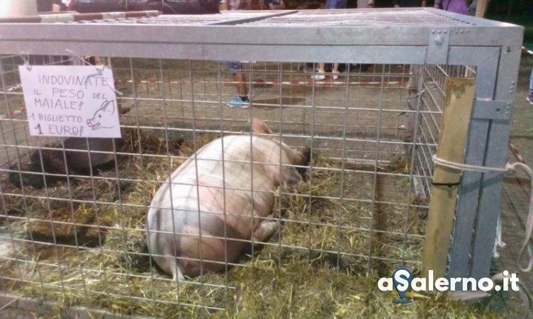 Maiale in palio ad Amalfi, scatta la protesta degli animalisti - aSalerno.it
