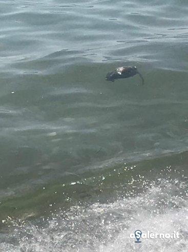 Torrione, trovato in mare un topo morto - aSalerno.it