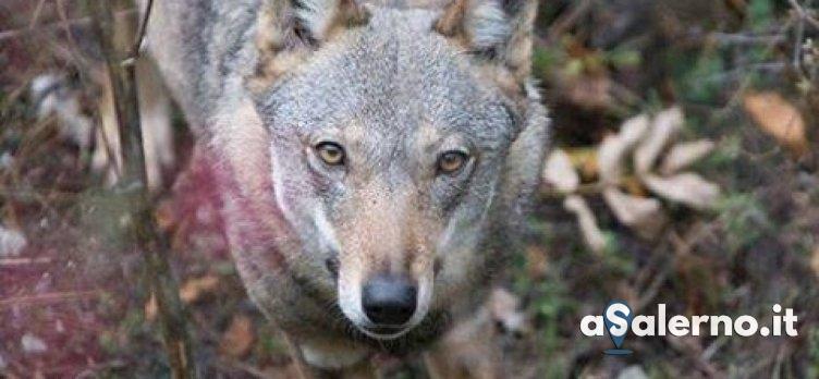 Eboli, sbranati gregge di pecore: preoccupa la presenza dei lupi - aSalerno.it