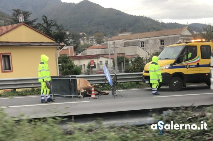 Incidente all'uscita Baronissi Sud: travolta mucca e vitellino - aSalerno.it