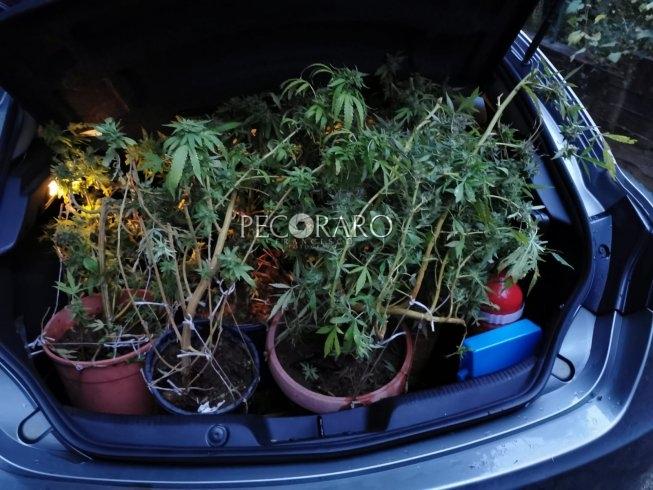 Nocera Inferiore: la Polizia sequestra venti piante di marijuana - aSalerno.it