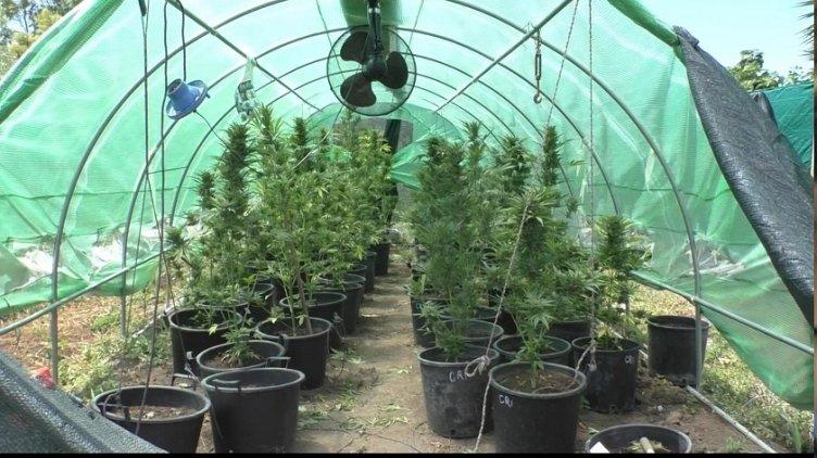 Non patate, neanche pomodori, nel fondo agricolo ben 100 piante di marijuana – LE FOTO - aSalerno.it