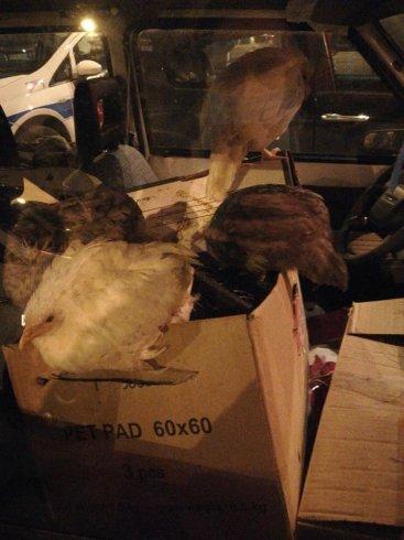 Incredibile a Torrione, galline chiuse nell'auto: salvate da volontari e Guardie Ecozoofile - aSalerno.it