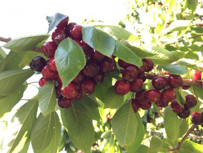 La ciliegia di Bracigliano è una eccellenza Igp - aSalerno.it
