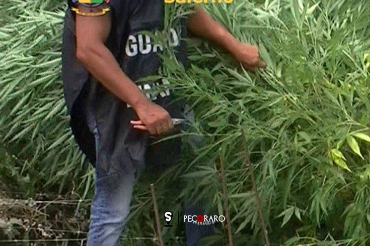 Coltivazione di marijuana nascosta tra le piante di mais - aSalerno.it